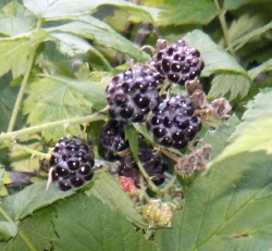 Jewel-like Black Raspberry